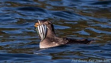 Rhinoceros auklet with Pacific sandlance. Photo: Phil Green